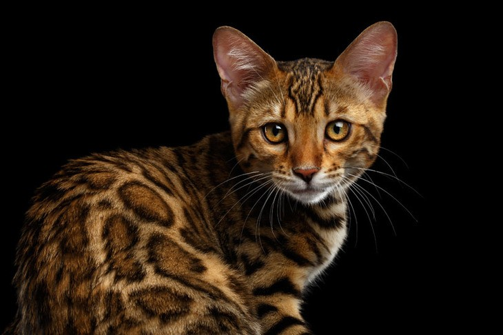 Характеристики бенгалькой породы кошек: физические и поведенческие ... | 486x730