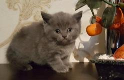 Питомник Wild Swan котята scottish fold and stright